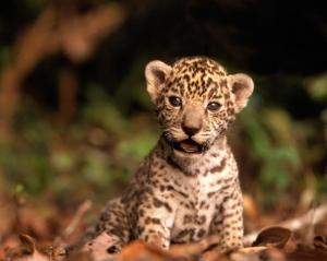 new-animals-jaguars-baby-animals-hd-wallpapers-zpsbcea-desktop-background